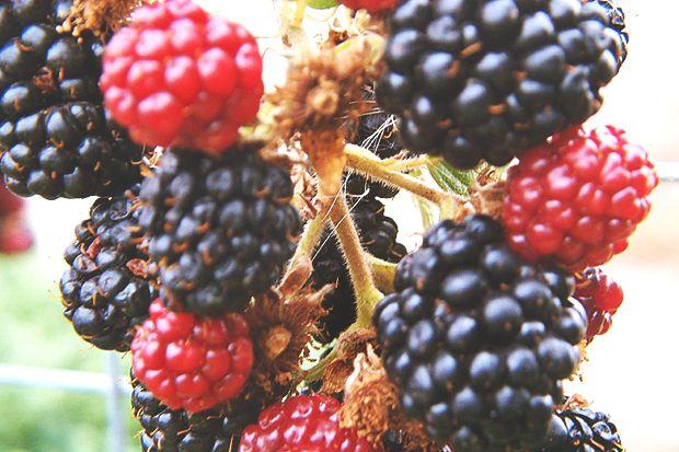 bozenberry1234_0